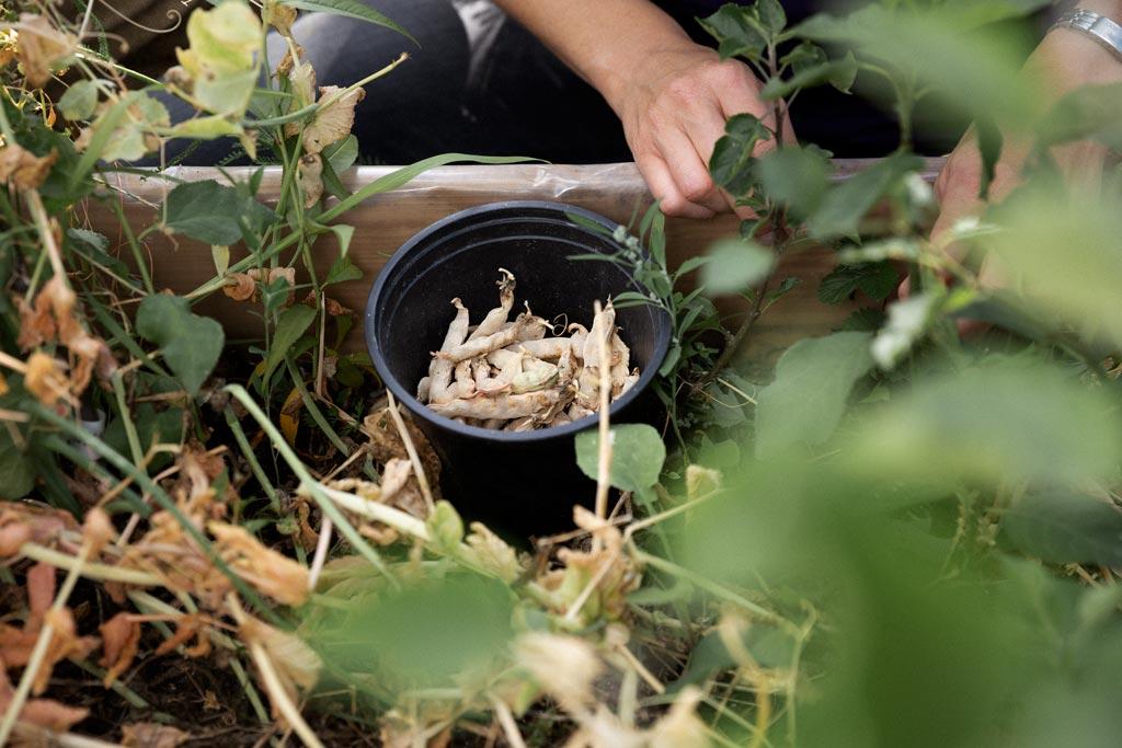 Gemüse wird beim Urban Gardening Projekt geerntet